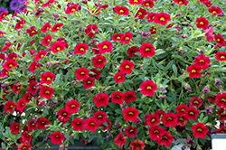 MiniFamous® Compact Dark Red Calibrachoa (Calibrachoa 'MiniFamous Compact Dark Red') at Shelmerdine Garden Center