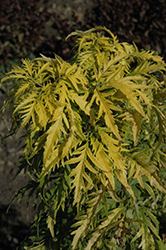 Morden Golden Glow Elder (Sambucus racemosa 'Morden Golden Glow') at Shelmerdine Garden Center
