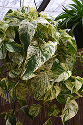Marble Queen Golden Pothos (Epipremnum aureum 'Marble Queen') at Shelmerdine Garden Center