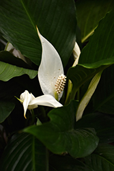 Peace Lily (Spathiphyllum wallisii) at Shelmerdine Garden Center