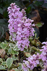 Pink Lightning Bugleweed (Ajuga reptans 'Pink Lightning') at Shelmerdine Garden Center
