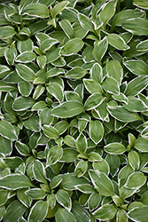 Variegated Parrot Feather (Alstroemeria psittacina 'Variegata') at Shelmerdine Garden Center