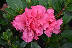 Bloom-A-Thon® Pink Double Azalea (Rhododendron 'RLH1-2P8') at Shelmerdine Garden Center