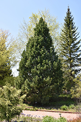 Swiss Stone Pine (Pinus cembra) at Shelmerdine Garden Center