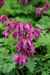 Luxuriant Bleeding Heart (Dicentra 'Luxuriant') at Shelmerdine Garden Center