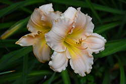 Fairy Tale Pink Daylily (Hemerocallis 'Fairy Tale Pink') at Shelmerdine Garden Center