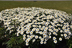 Becky Shasta Daisy (Leucanthemum x superbum 'Becky') at Shelmerdine Garden Center