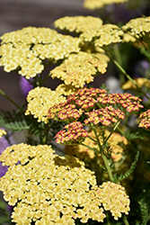 Rainbow Tricolor Yarrow (Achillea millefolium 'Rainbow Tricolor') at Shelmerdine Garden Center