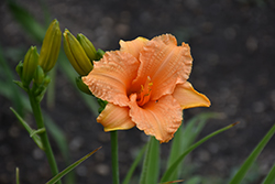 Bertie Ferris Daylily (Hemerocallis 'Bertie Ferris') at Shelmerdine Garden Center