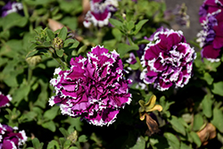 Pirouette Purple Petunia (Petunia 'Pirouette Purple') at Shelmerdine Garden Center