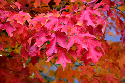 Fall Fiesta Sugar Maple (Acer saccharum 'Bailsta') at Shelmerdine Garden Center