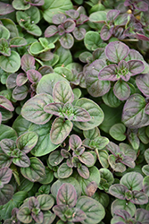 Oregano (Origanum vulgare) at Shelmerdine Garden Center