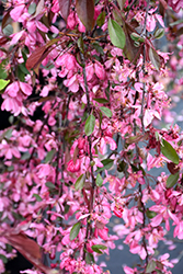 Royal Beauty Flowering Crab (Malus 'Royal Beauty') at Shelmerdine Garden Center
