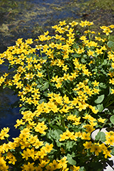 Marsh Marigold (Caltha palustris) at Shelmerdine Garden Center