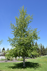 Trembling Aspen (Populus tremuloides) at Shelmerdine Garden Center
