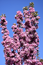 Purple Spire Columnar Crabapple (Malus 'Jefspire') at Shelmerdine Garden Center