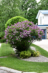 Donald Wyman Lilac (Syringa x prestoniae 'Donald Wyman') at Shelmerdine Garden Center