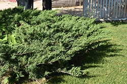 Blue Danube Juniper (Juniperus sabina 'Blue Danube') at Shelmerdine Garden Center