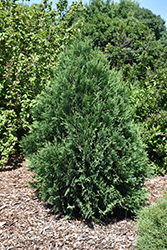Technito® Arborvitae (Thuja occidentalis 'Bailjohn') at Shelmerdine Garden Center