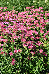 Coral Reef Beebalm (Monarda didyma 'Coral Reef') at Shelmerdine Garden Center