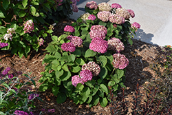Invincibelle® Mini Mauvette Hydrangea (Hydrangea arborescens 'NCHA7') at Shelmerdine Garden Center