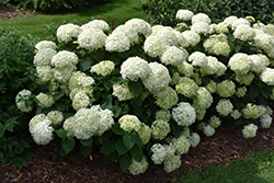 Invincibelle® Limetta Hydrangea (Hydrangea arborescens 'NCHA8') at Shelmerdine Garden Center
