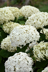 Invincibelle® Wee White Hydrangea (Hydrangea arborescens 'NCHA5') at Shelmerdine Garden Center