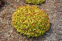 Double Play® Candy Corn® Spirea (Spiraea japonica 'NCSX1') at Shelmerdine Garden Center