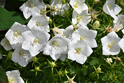 White Clips Bellflower (Campanula carpatica 'White Clips') at Shelmerdine Garden Center