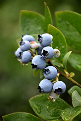 Northblue Blueberry (Vaccinium 'Northblue') at Shelmerdine Garden Center
