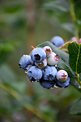 Chippewa Blueberry (Vaccinium 'Chippewa') at Shelmerdine Garden Center