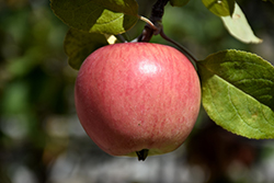 Prairie Magic Apple (Malus 'Prairie Magic') at Shelmerdine Garden Center