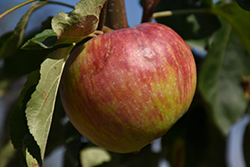 Hardi-Mac Apple (Malus 'Hardi-Mac') at Shelmerdine Garden Center