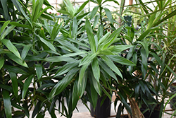 Pleomele (Dracaena reflexa) at Shelmerdine Garden Center