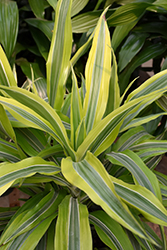Goldstar Dracaena (Dracaena warneckii 'Goldstar') at Shelmerdine Garden Center