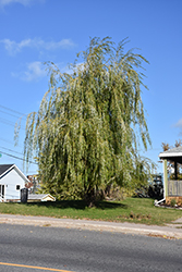 Prairie Cascade Weeping Willow (Salix 'Prairie Cascade') at Shelmerdine Garden Center
