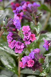 Silver Bouquet Lungwort (Pulmonaria 'Silver Bouquet') at Shelmerdine Garden Center