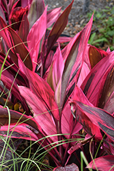 Red Sister Hawaiian Ti Plant (Cordyline fruticosa 'Red Sister') at Shelmerdine Garden Center