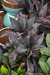 Congo Variegated Croton (Codiaeum variegatum 'Congo') at Shelmerdine Garden Center