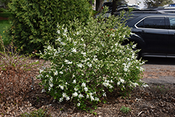 Lotus Moon™ Pearlbush (Exochorda x macrantha 'Bailmoon') at Shelmerdine Garden Center