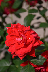 Canadian Shield™ Rose (Rosa 'CCA576') at Shelmerdine Garden Center