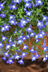 Hot® Bavaria Lobelia (Lobelia 'Hot Bavaria') at Shelmerdine Garden Center