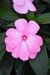 Super Sonic Pastel Pink New Guinea Impatiens (Impatiens hawkeri 'Super Sonic Pastel Pink') at Shelmerdine Garden Center