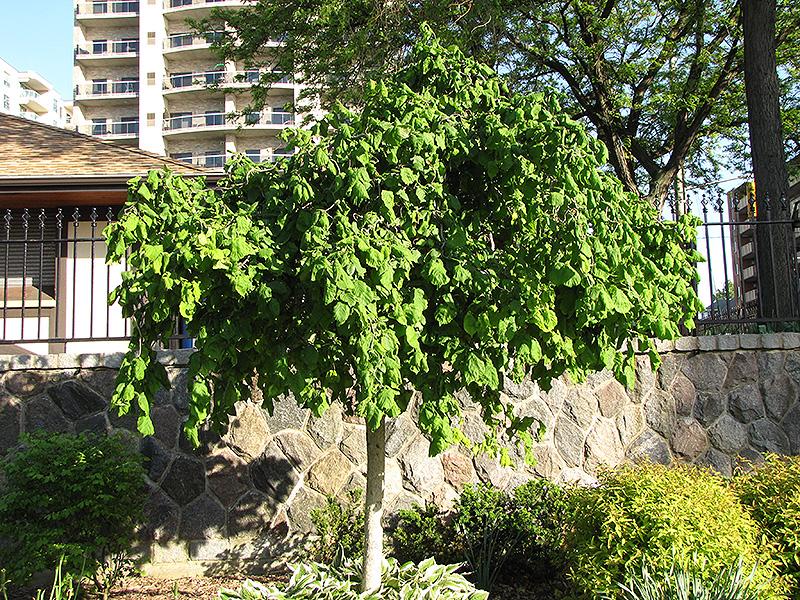 Harry Lauder S Walking Stick Tree Form Corylus Avellana Contorta